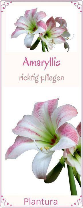 Amaryllis pflegen: Gießen & düngen zur Blütezeit - Plantura