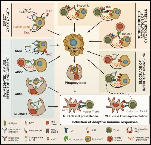 Mechanisms of Action of Antibody Immunotherapy in CancerMechanisms of anticancer antibody therapies are diverse and represent the versatility of antibody-based approaches. Here, four different strategies are depicted. Upper left: direct cytotoxicity, in which mAbs can induce direct cytotoxicity in tumor cells by perturbing oncogenic signaling pathways or in which immunoconjugates can carry cytotoxic agents to targeted cells.