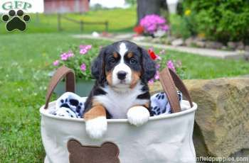 Princess Bernese Mountain Dog Puppy For Sale In Ohio Bernese Mountain Dog Mountain Dogs Bernese Mountain Dog Puppy