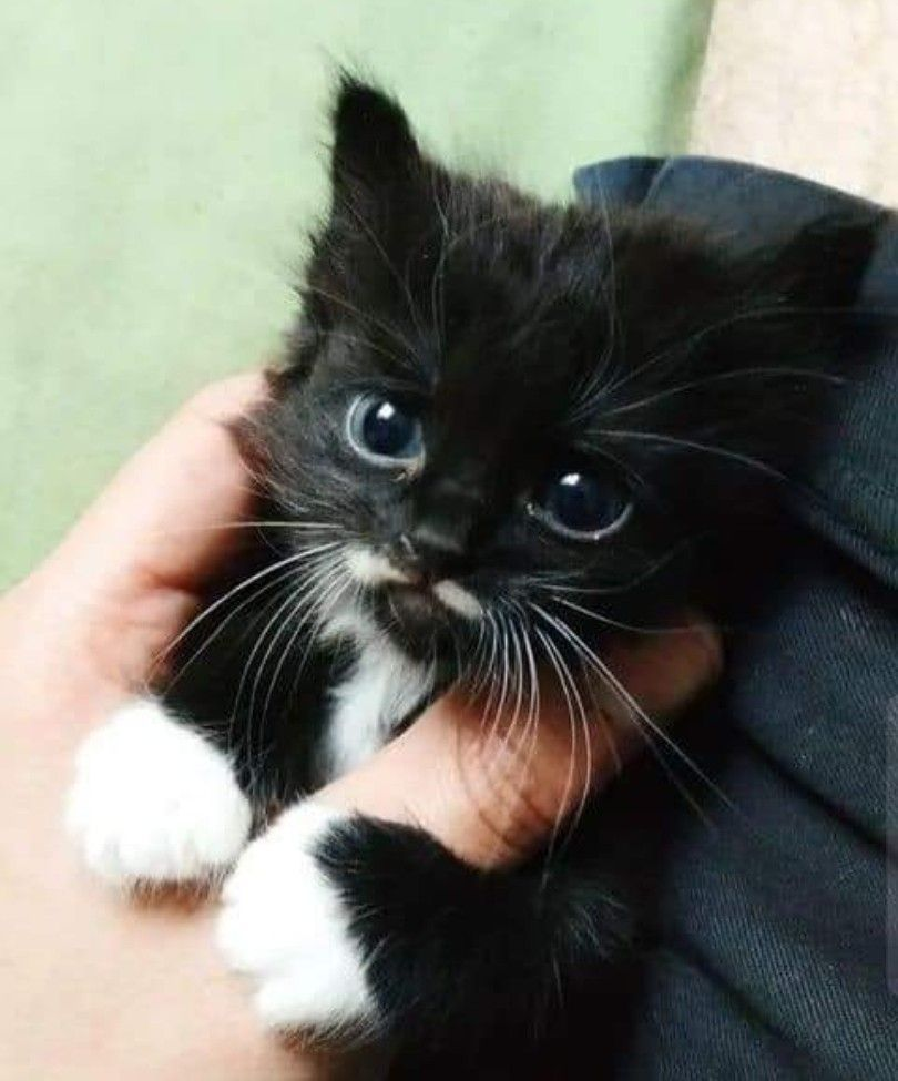 The Most Adorable Little Black And White Kitten I Ve Seen So Far Today Whitekittens The Most Adorable Little Black And White In 2020 Baby Katzen Weisse Katzen Katzen