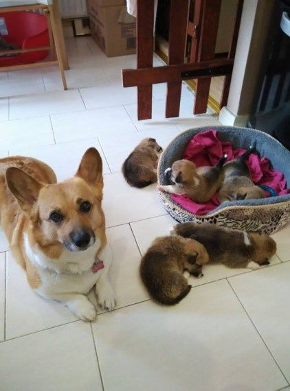 Welsh Corgi Puppies For Sale For Sale Adoption From Western