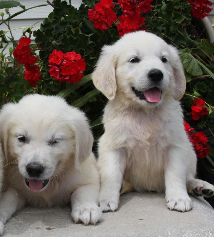 Mn English Golden Golden Retriever Retriever Retriever Puppy