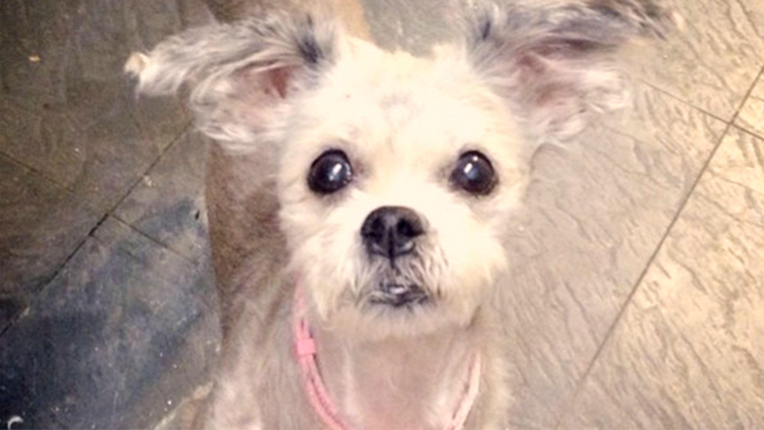 New York City Ny Yorkie Yorkshire Terrier Meet Mimi A Pet For Adoption Yorkshire Terrier Yorkie Yorkie Yorkshire Terrier