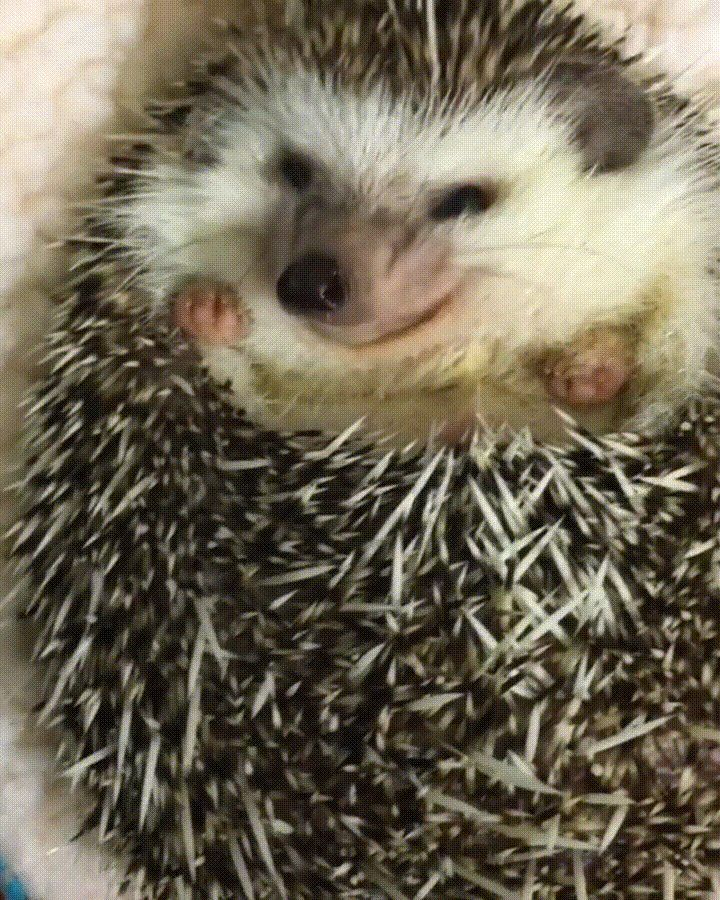 Feeding a baby hedgehog