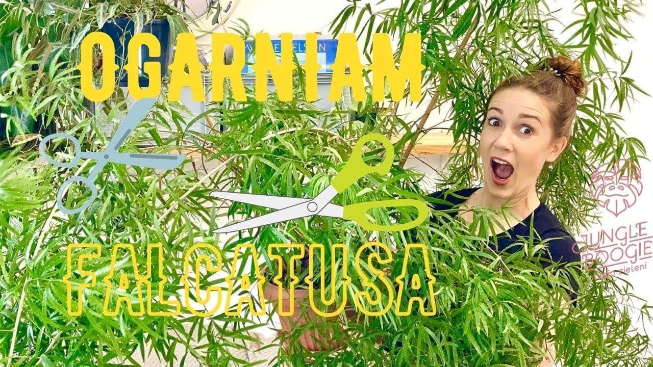 Ujarzmiam Bestie Czyli Pielegnacja Gigantycznego 8 Letniego Asparagusa Falcatusa Jungle Boogie Fair Grounds Ferris Wheel Travel