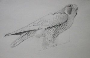 Sketching Peregrine Falcon Birds From Life - The Art and Fine Art Tips of Lori McNee