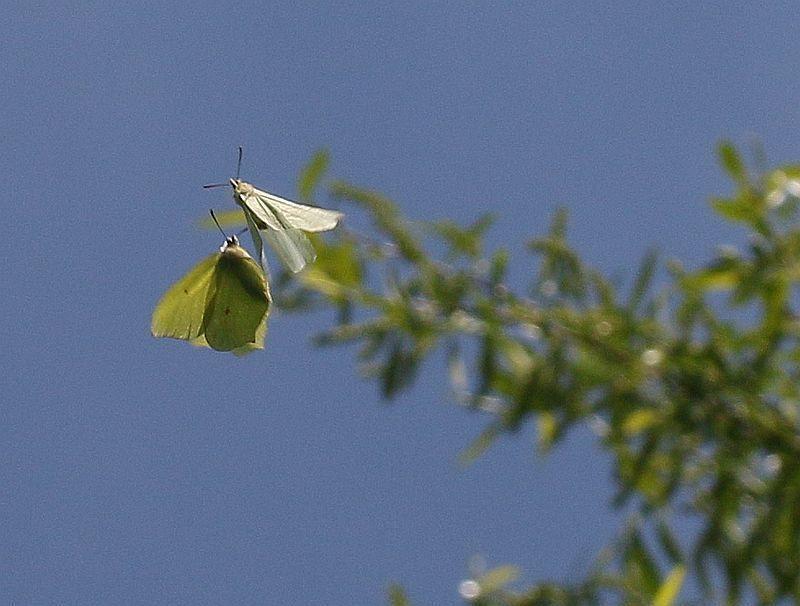 Zitronenfalter Schmetterling Nachtfalter Insekten