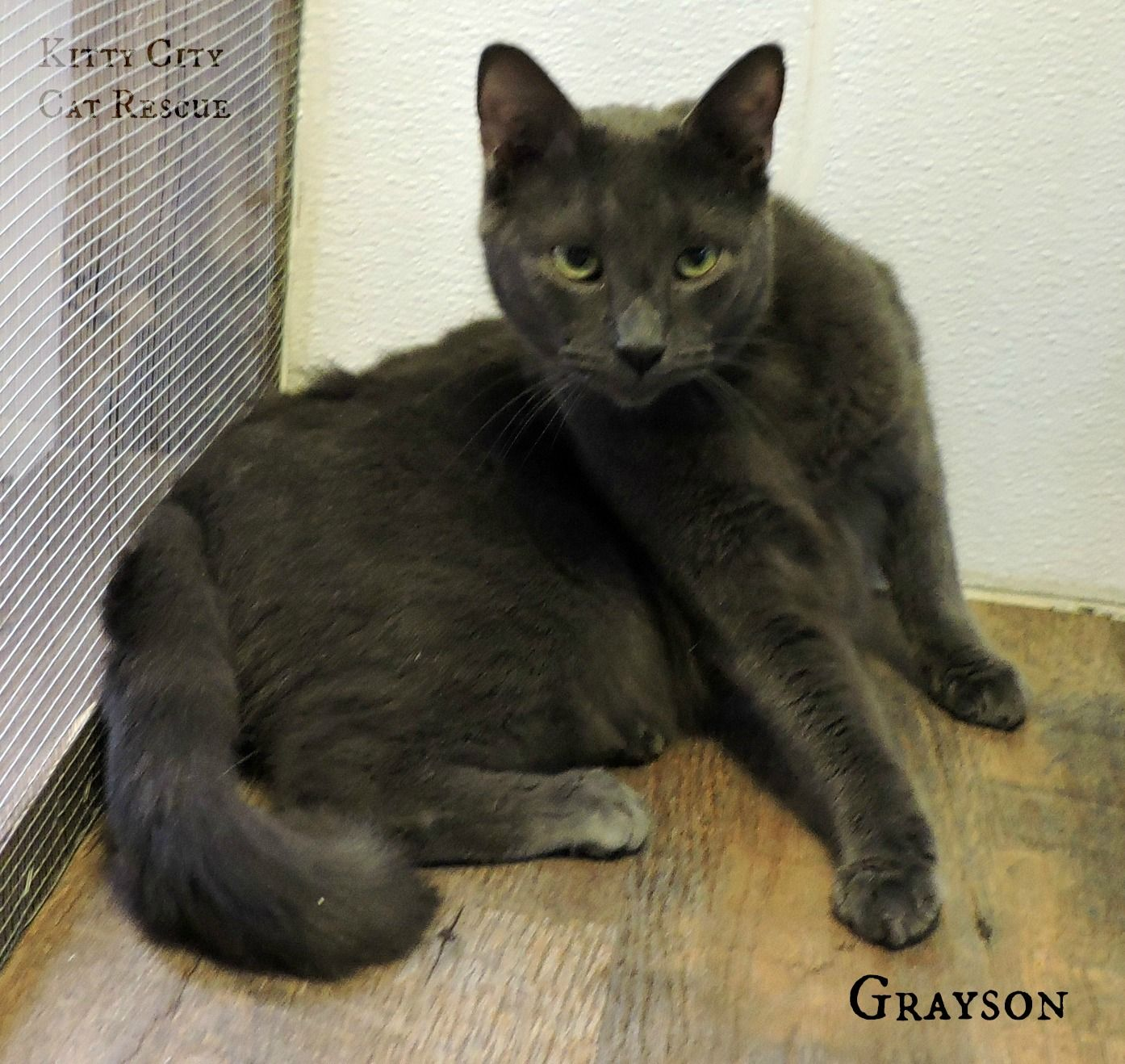 GRAYSON Kitty City Cat Rescue Macon GA