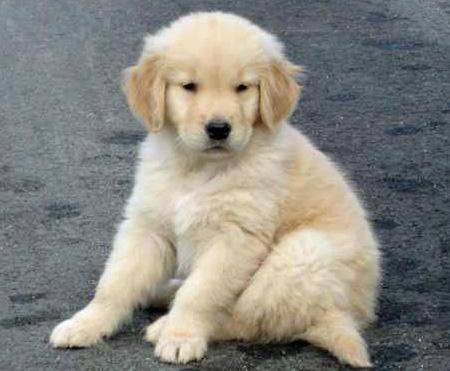 Good Golden Retriever Chubby Adorable Dog - af71548233360f0d515c6ee19410c08f  Image_898298  .jpg