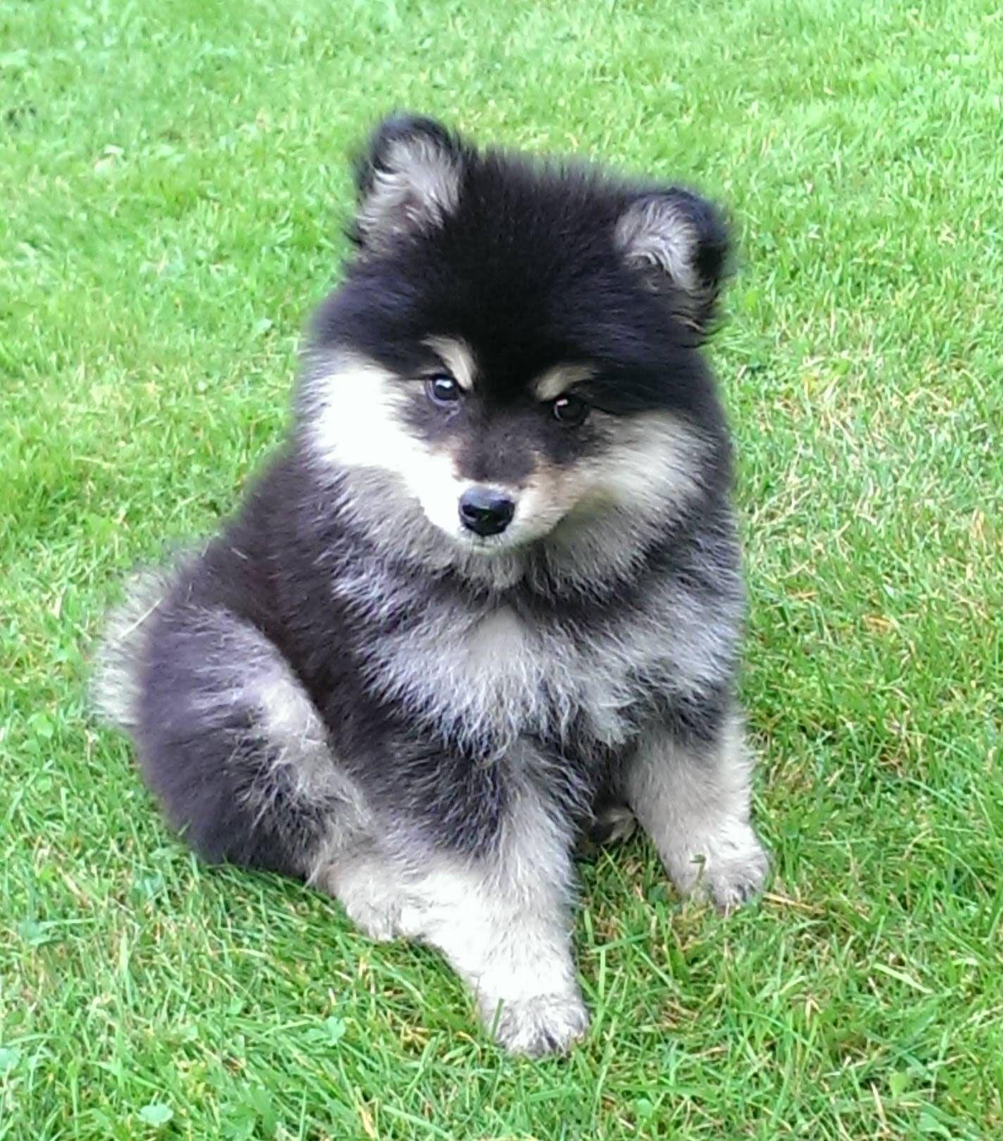 Meet Otto Cute Fluffy Finnish Lapphund Puppy Cute Animals Cute