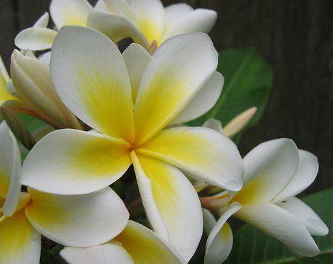 jasmine national flower of pakistan pakistan pinterest. Black Bedroom Furniture Sets. Home Design Ideas