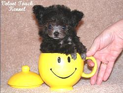 Teacup Poodle Description, What is a Teacup Poodle by