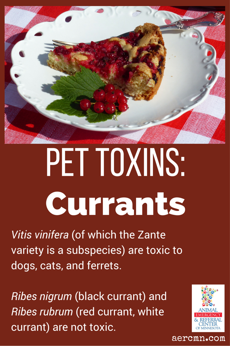 Currants Can Be Very Toxic To Pets If Your Dog Cat Or Ferret