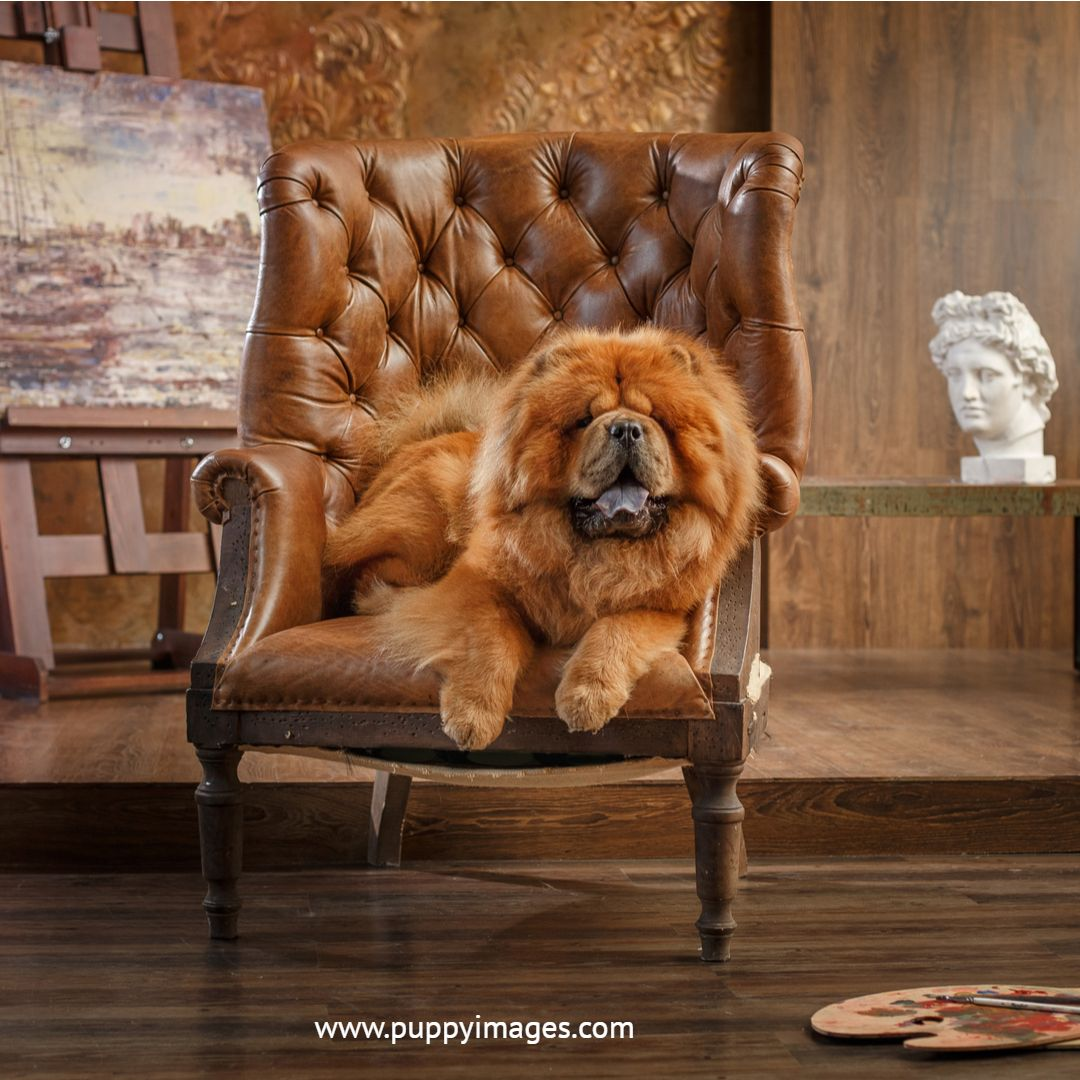 Red Chow Chow On Chair Puppy Dog Images Boo The Dog Chow Chow