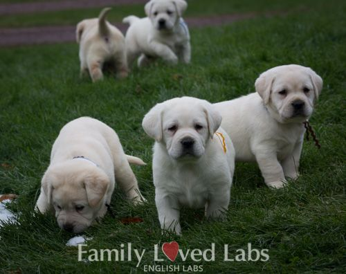 Beautiful English Lab Puppies Playing Outside Family Loved Labs Akc Registered White English Labs White English L Lab Puppies English Lab Puppies Puppies