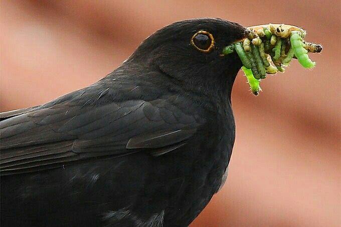 Amsel Mit Wurmsalat Haustiere Kaufen Vogel Des Jahres Susse Tiere