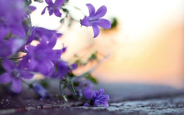 Windows 8 Purple Flowers Wallpapers