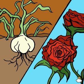 Sie pflanzt knoblauch neben die rosen in die erde was for Fliegen in blumen bekampfen