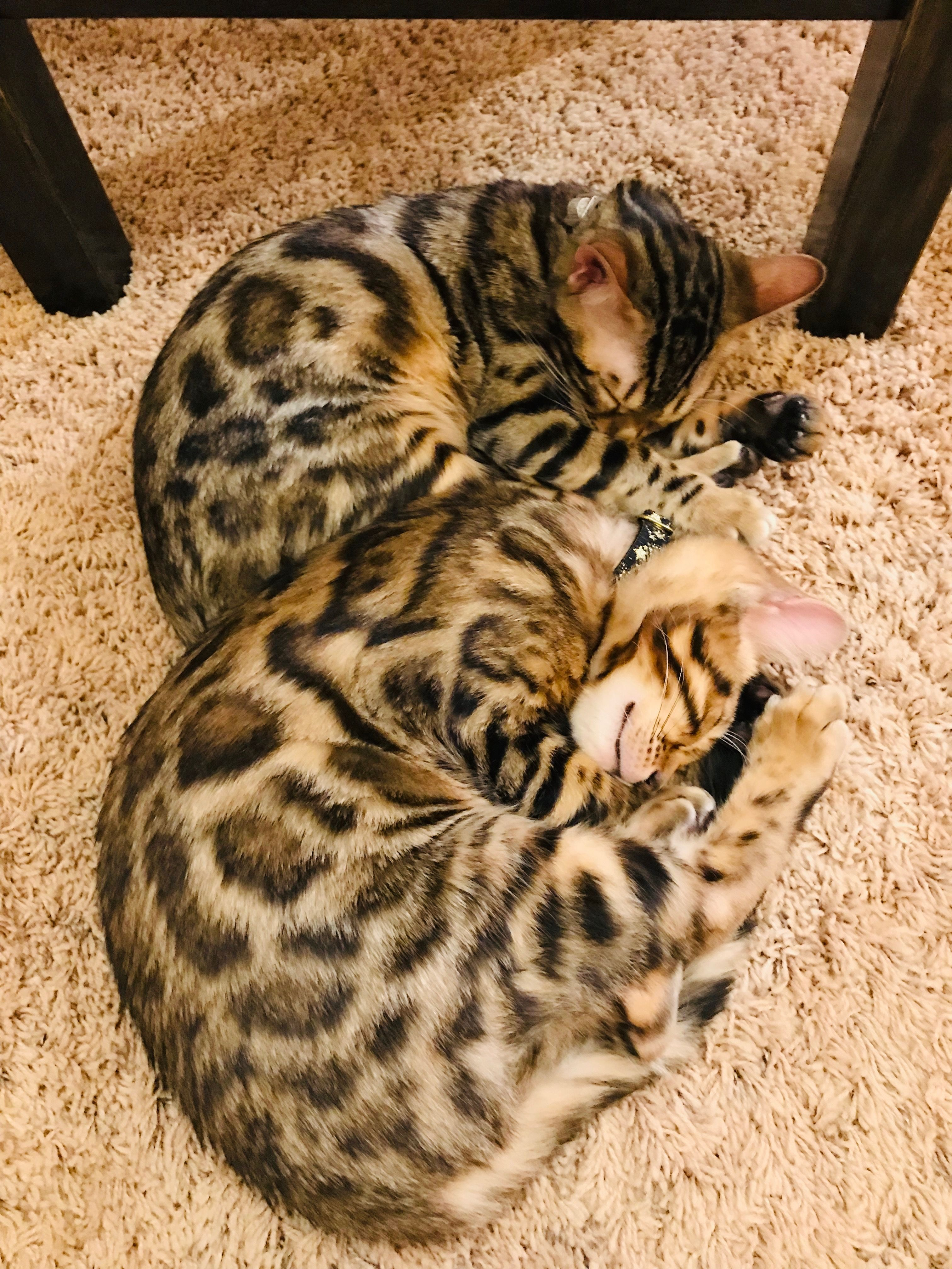 Bengal Cat 4 Month Old Kittens Tink And Cheddar Bengal Cat 4 Month Old Kitten Cats