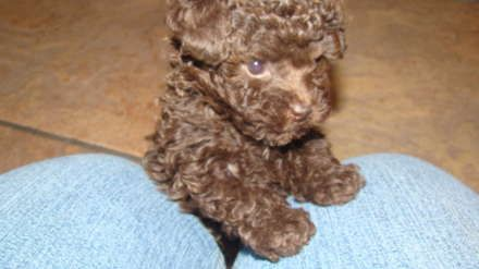 Chocolate Toy Poodle Our Two Dams Chocolate Toy Poodle