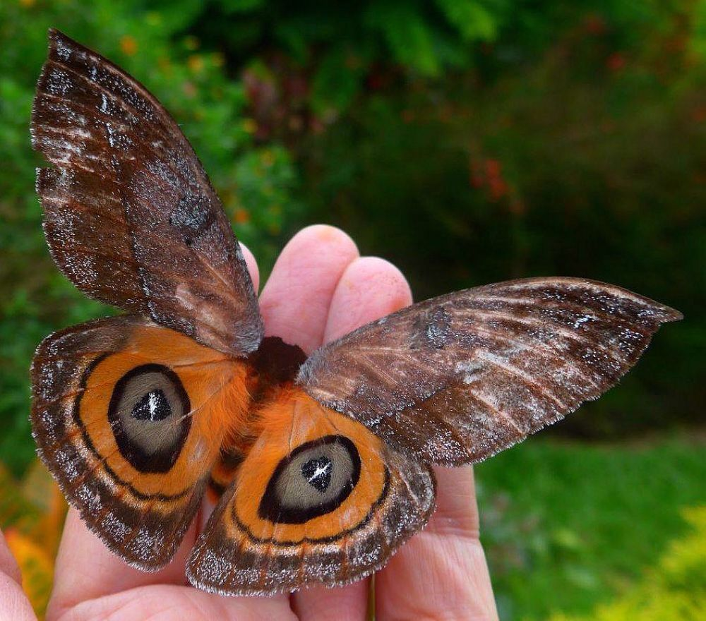 Automeris Moth Whose False Eyes Are Used As A Defense Against Predators Mariposas