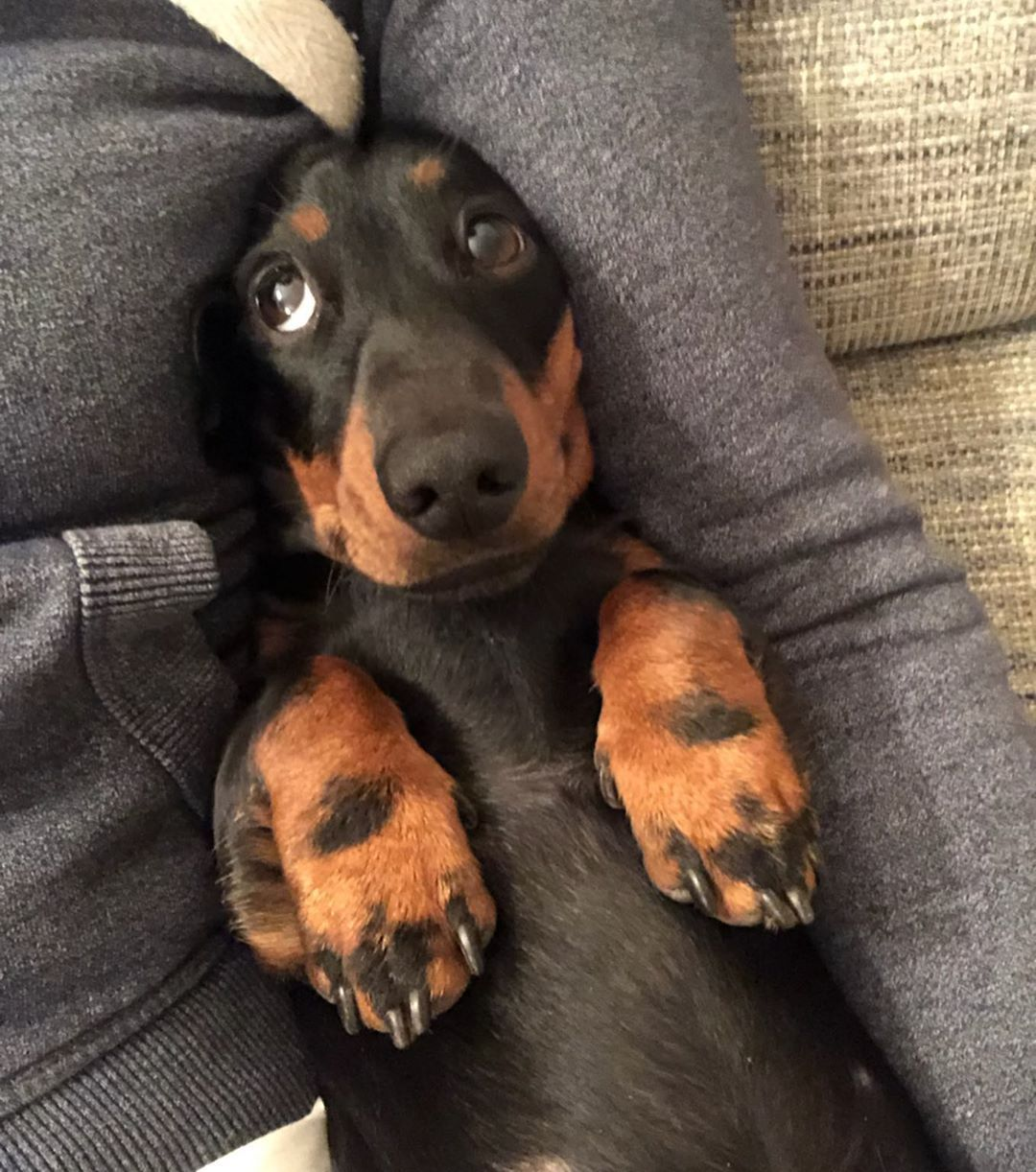 Pin By Virginia Lewis On Weenie Dog In 2020 Puppies Doxie