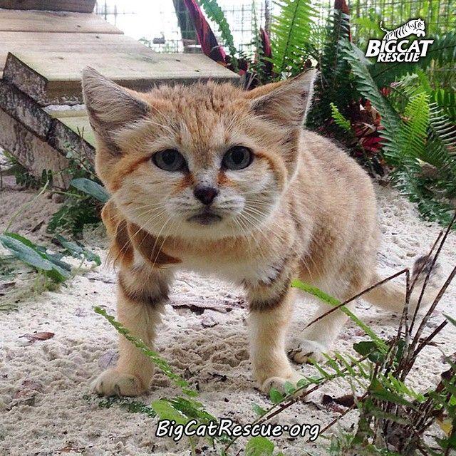 A Sand Cat a wild cat species Fun Facts Big cat
