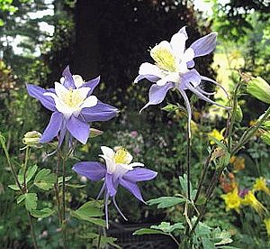 Aquilegia Heavenly Blue New Best Plants For Shade Deer Resistant Plants Shade Flowers