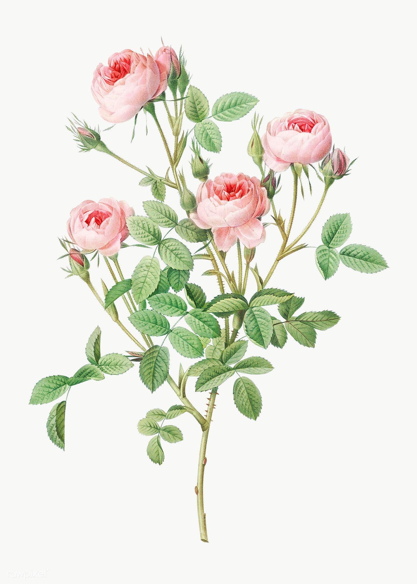Vintage Burgundian Rose Transparent Png Free Image By Rawpixel Com In 2020 Flower Drawing Roses Drawing Flower Illustration