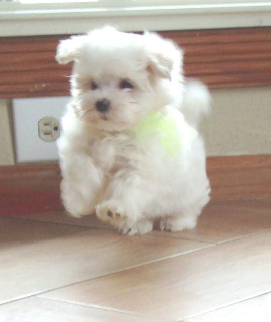 Texas Teacup Puppy With Images Teacup Puppies Cute Little Dogs Teacup Puppies Maltese