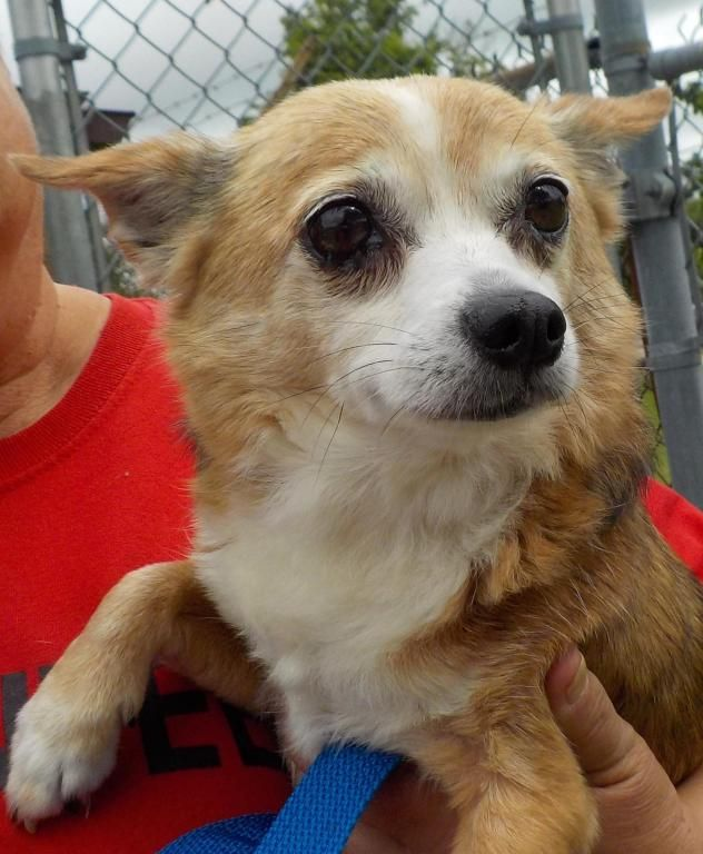 Adopt 30 Brody Adopted On Adoption Chihuahua Stark County