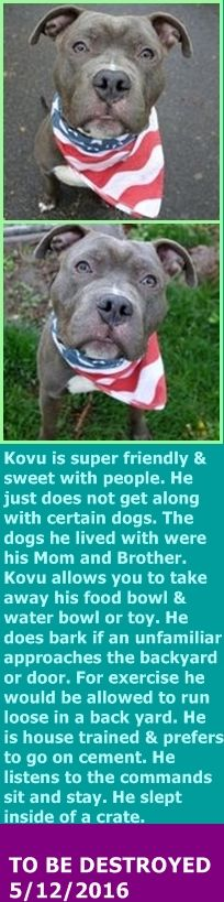 Manhattan Center My name is KOVU. My Animal ID # is A1072559. I am a male gray and white am pit bull ter mix. The shelter thinks I am about 1 YEAR I came in the shelter as a OWNER SUR on 05/05/2016 from NY 10456, owner surrender reason stated was PETS CONFL. http://nycdogs.urgentpodr.org/kovu-a1072559/