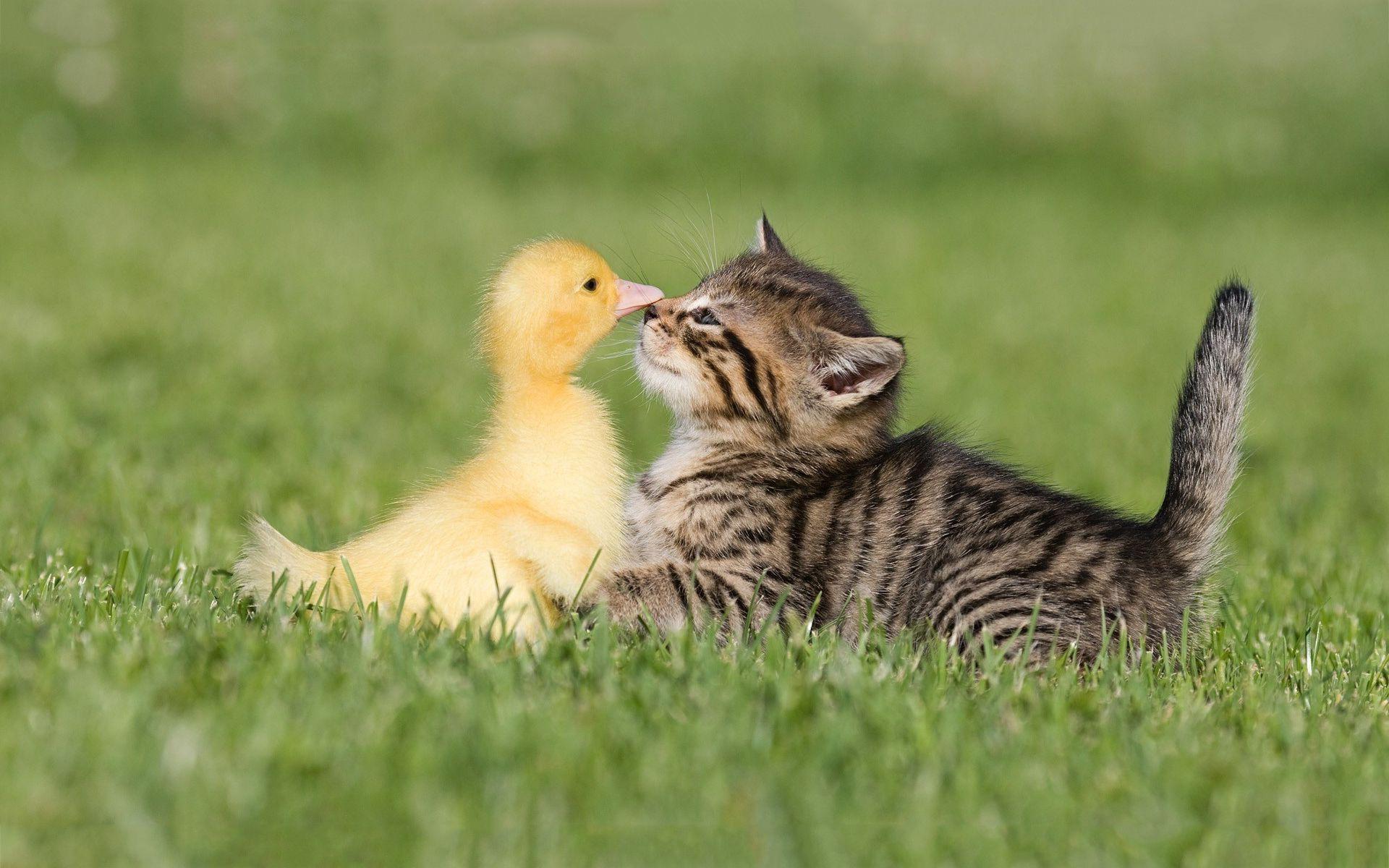 Kitten And Duckling Pictures Wallpaper   Wallpaper Download