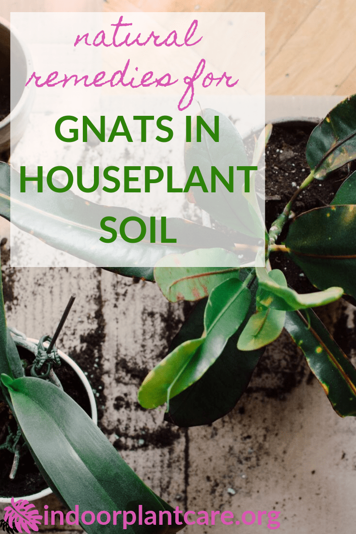How To Get Rid Of Gnats In Houseplant Soil Indoor Plant Care In 2020 Indoor Plant Care Gnats In House Plants How To Get Rid Of Gnats