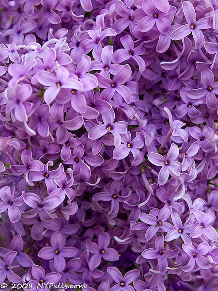 lilacs since we remodeled our current house i have wanted to put