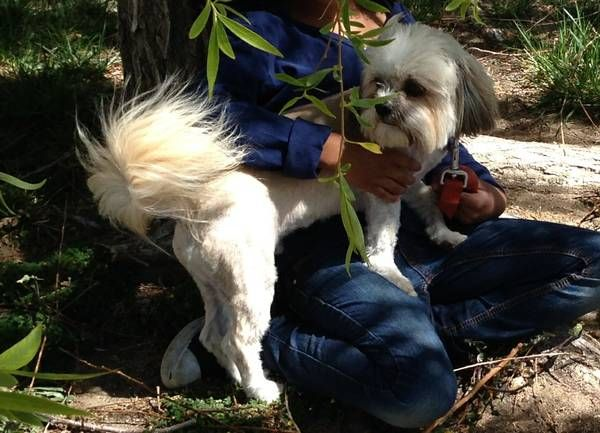 Lost Dog Shih Tzu White 100 Reward West Lancaster L 6 Our White Shih Tzu Ran Away In The Area Of West Lancaster Near 30th W With Images Losing A Dog Dogs
