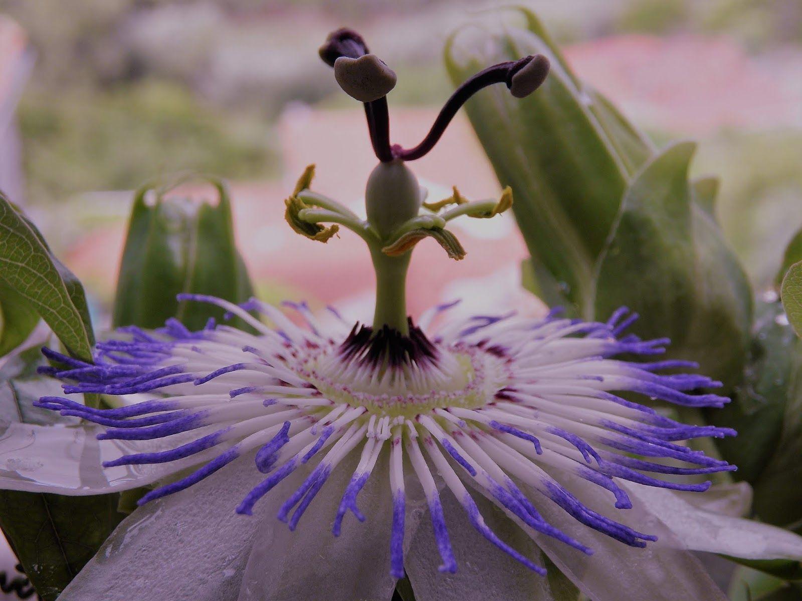 Image result for πασιφλόρα λουλούδι