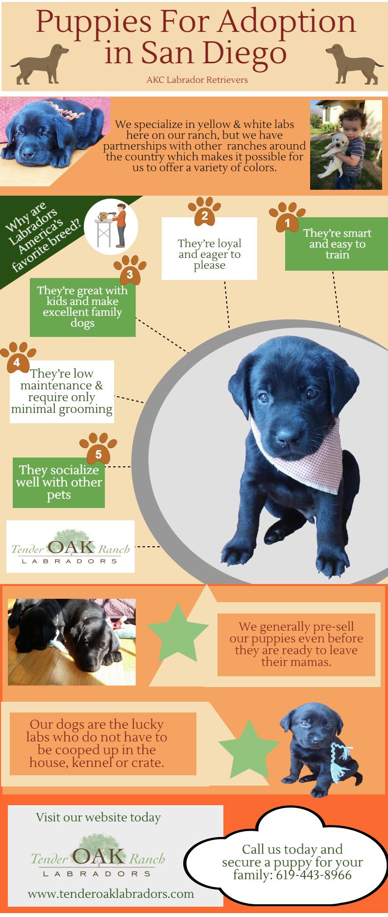About Us Labrador Puppies For Sale Labrador Puppy Yellow Labrador