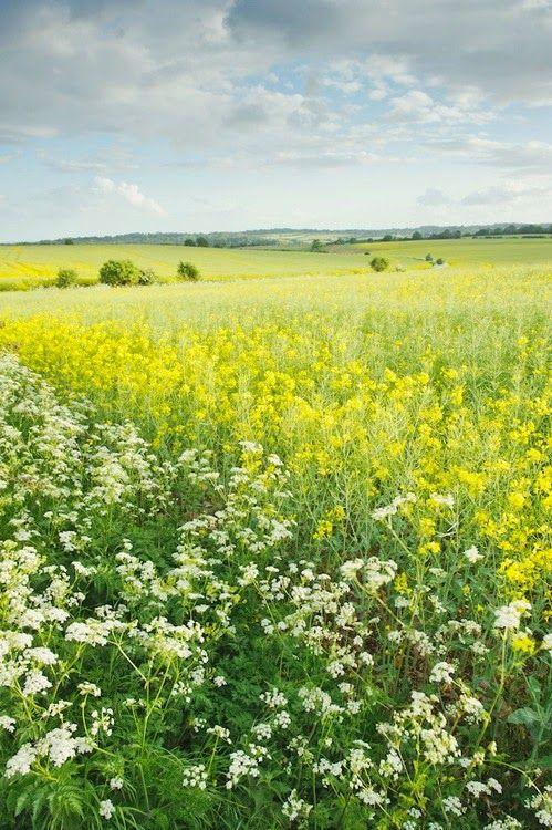 Cowparsley : Following The Dream