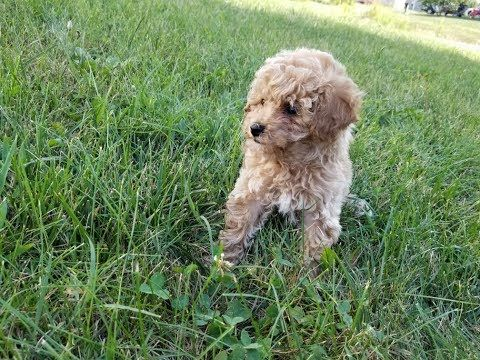 Mini Poodle pup for sale in Troutman, North Carolina