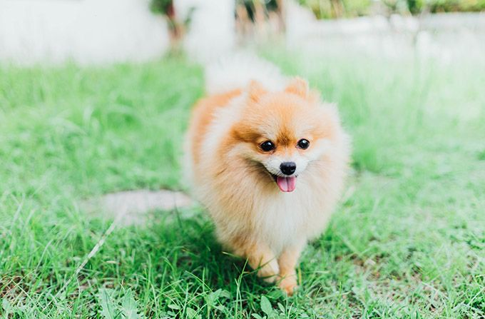 pomeranian puppy care pomeranian puppies facts and adorable pictures lovely 4390