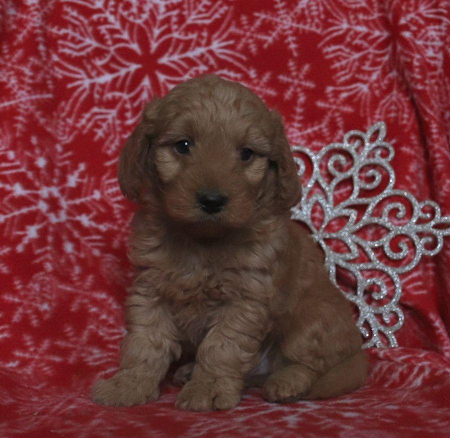 Jolly Minigoldendoodle In 2020 Mini Goldendoodle Puppies