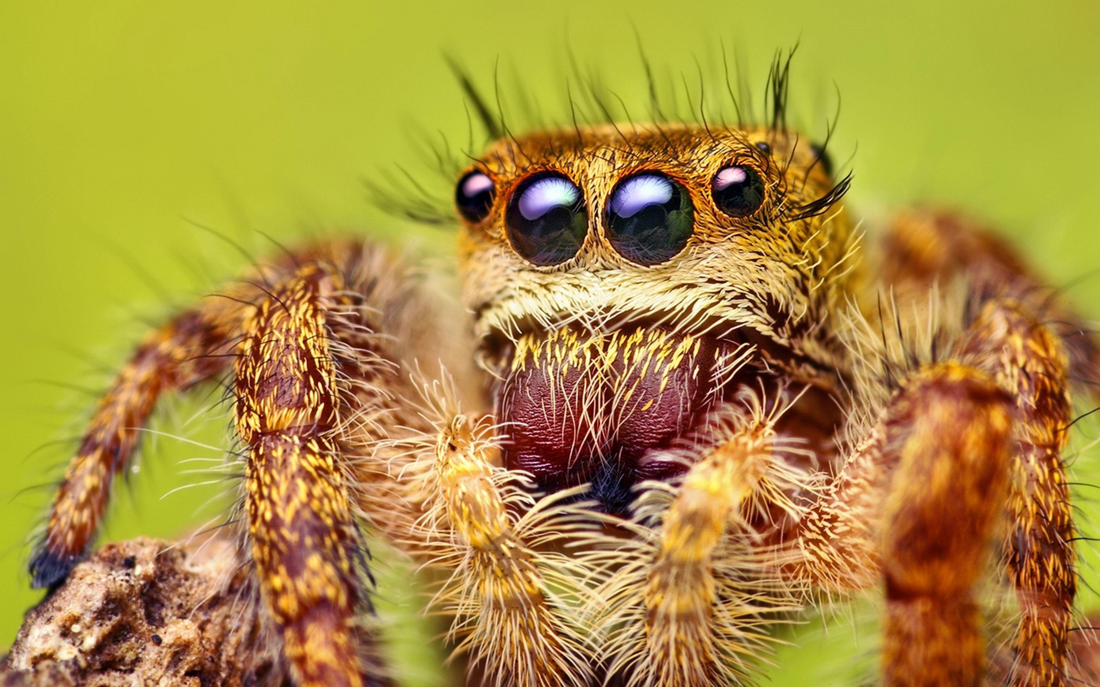Download Wallpaper 3840x2400 Spider, Legs, Hairy, Eyes Ultra HD 4K .