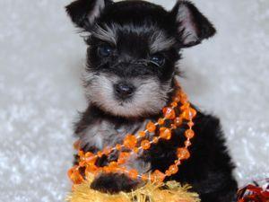 Miniature Schnauzer Puppies For Sale Teacup Toy And Miniature Miniature Schnauzer Puppies Schnauzer Puppy Mini Schnauzer Puppies