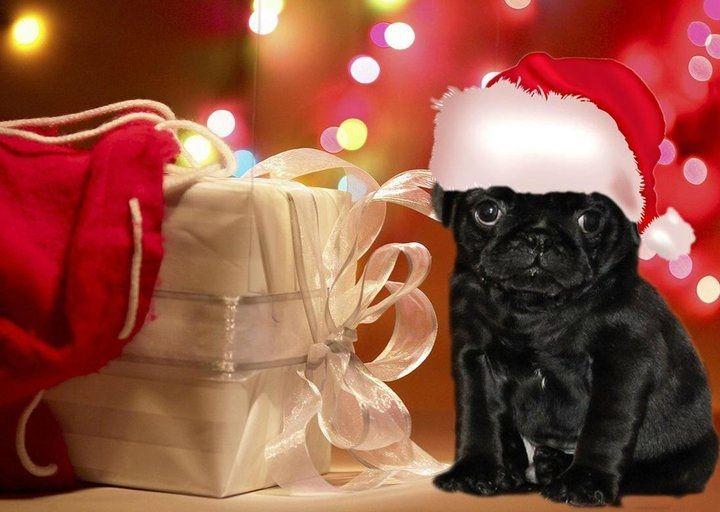 Pug Christmas Card Cute Pugs Pug Christmas Cards Pug Christmas