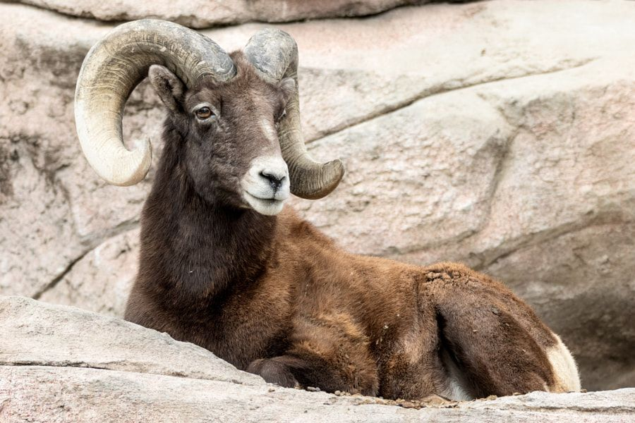 A Distinguished Look A captured male bighorned sheep