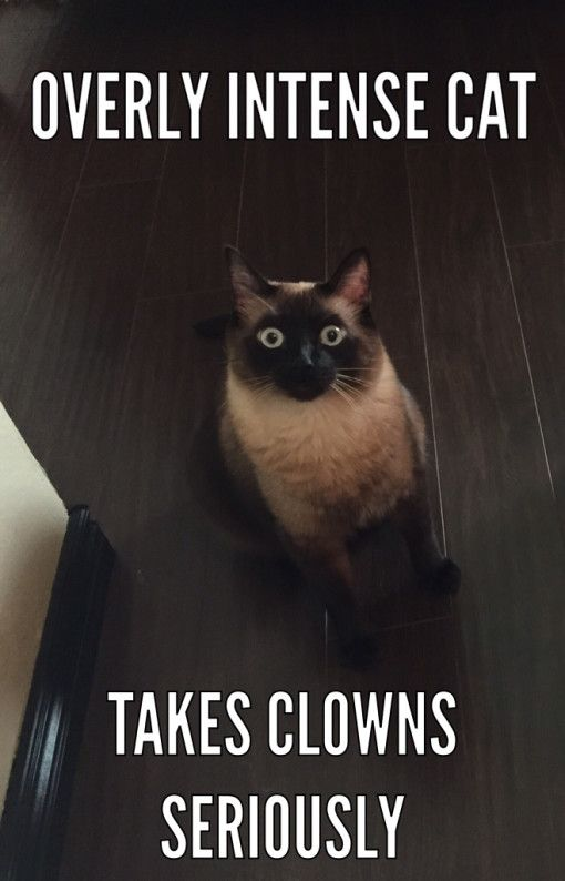 af7c3879f1474c0c0e048ba017847f4a overly intense cat takes clowns seriously funny pinterest