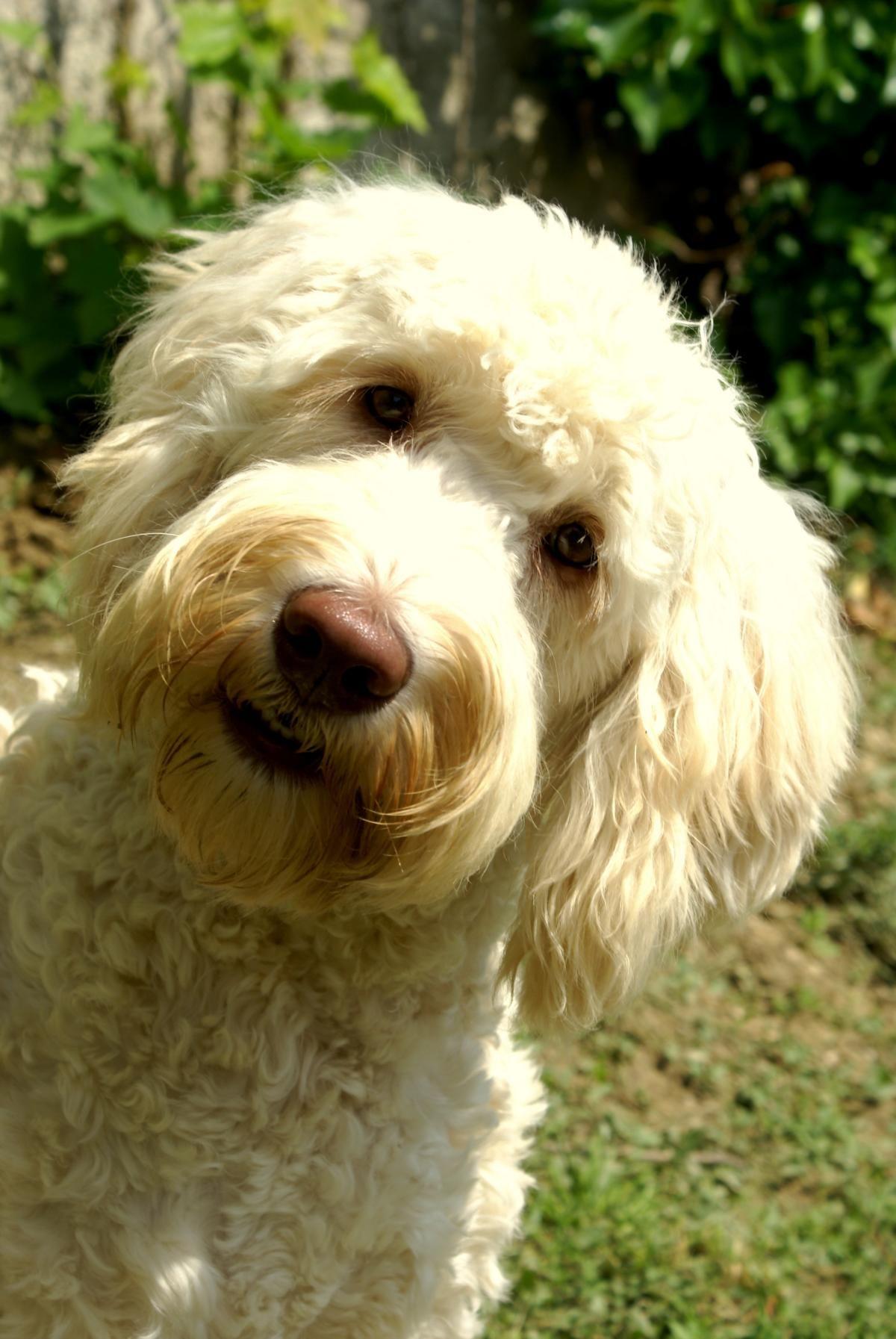 Australian Labradoodles Osterreich Labradoodle Hund Doodle Hund Labradoodle