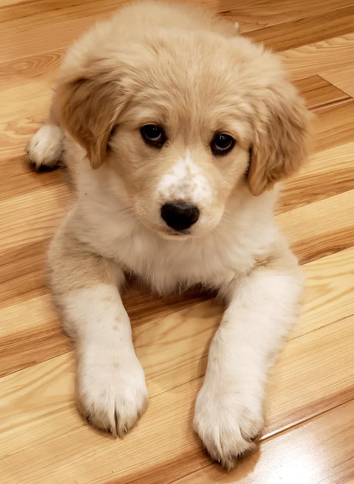 This Is My Vsco Puppy She Is A Great Pyrenees Lab Retriever Mix