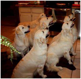 White Sand English Cream Golden Retriever Puppies For Sale Georgia Florida North Carolina California Golden Retriever Dog Activities Puppies